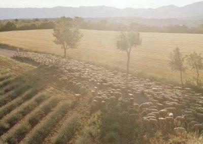 Alpes-de-haute-Provence, transhumance, plateau de Valensole   juin 2012