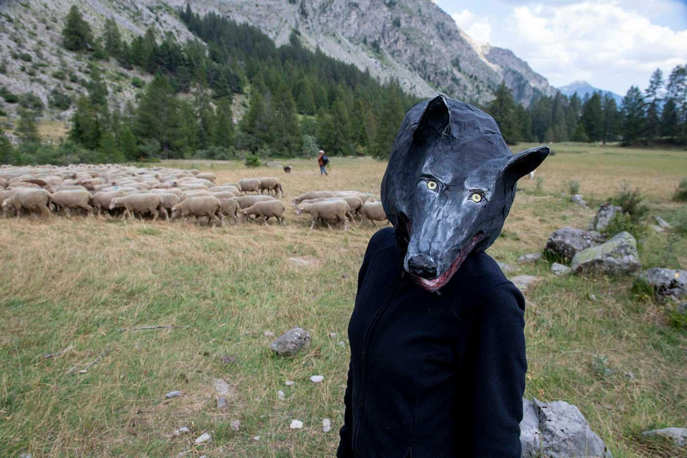 Loup au bord du troupeau